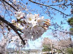 嵐山の桜~京都の桜2009