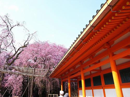 枝垂れ八重桜