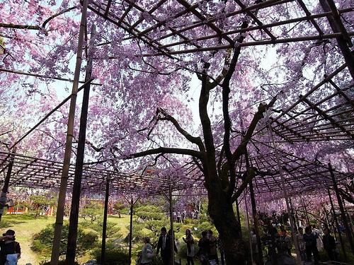 屋根のような桜