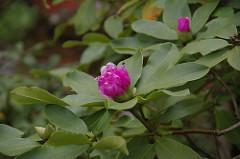 季節外れの石楠花
