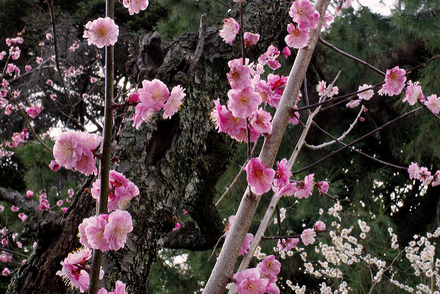 桃の花咲く