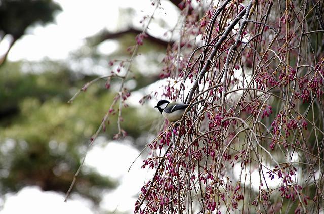 桜に四十雀