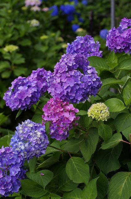 紫陽花(グラデーション)