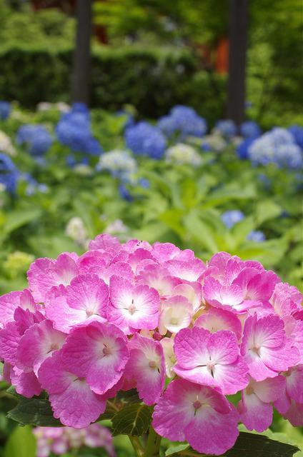 紫陽花(ピンク)